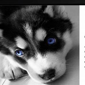 17 Best images about MINIATURE SIBERIAN HUSKY on Pinterest ...
