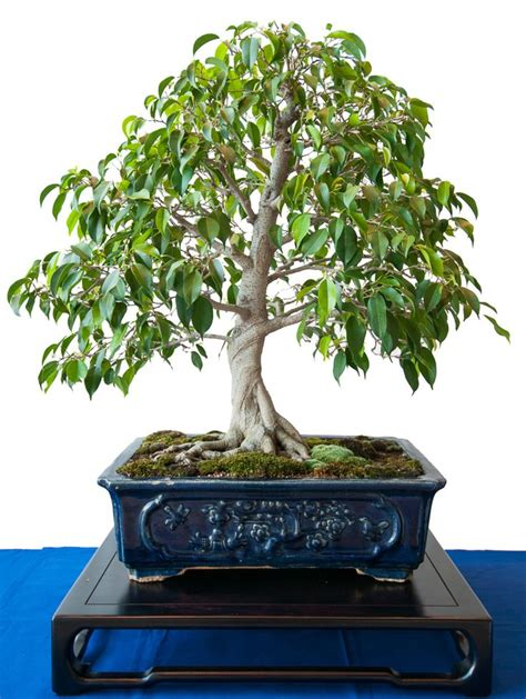 bonsai arten indoor ficus natasja suche innen bonsai ficus search and bonsai