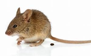 Crottes De Souris : se d barrasser des souris et des rats ~ Melissatoandfro.com Idées de Décoration