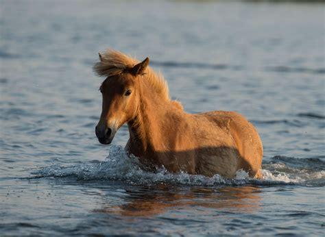 assateague chincoteague island horses wild ponies facts famous tours islands seashore national