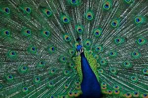 Red Shoes and Peacock Feathers: Red Shoes and Peacock Feathers