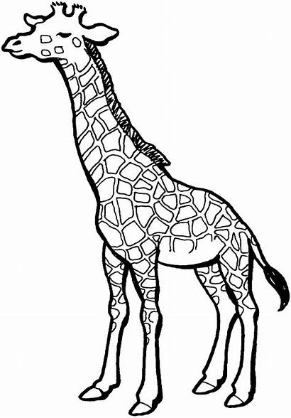 Giraffe Coloring Pages Clip Clipart Printable Panda