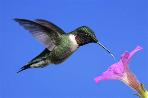 male ruby throated hummingbird hummingbird facts and