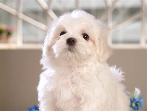 Poodle White Puppy 1