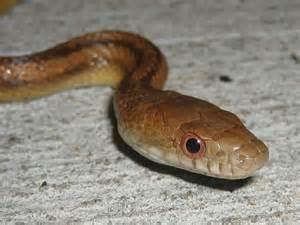 Brown Rat Snake Florida