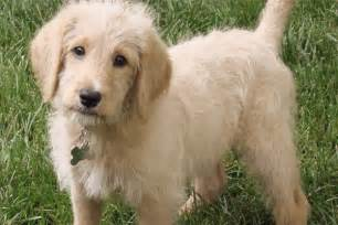 laberdoodle dogs that don t shed 23 hypoallergenic dog