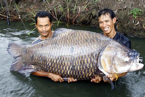 carp biggest fishing thailand siamese fish caught giant monster helias largest record catfish river huge usa massive pound north lake