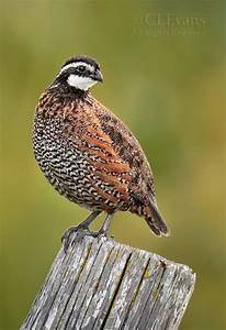 38 best images about Bobwhite Quail for Brandon on ...