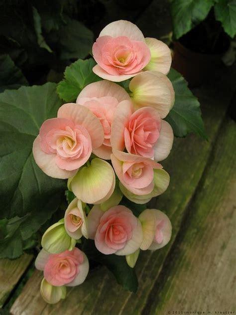 Garden Blush Begonia by Bashful Blush Flowers Gardens Flowers Begonia
