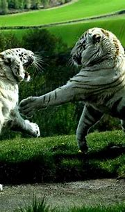 Baby white siberian tiger « Nat Geo Adventure