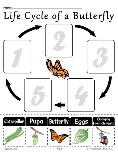 life cycle   butterfly  printable worksheet