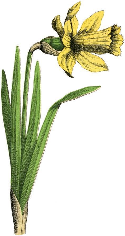 vintage daffodil picture  graphics fairy