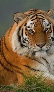 Siberean Tiger are huge!   Jukani Wildlife Sanctuary ...