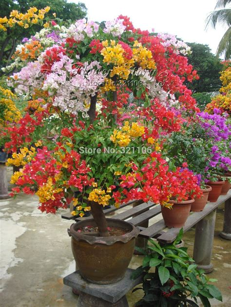 care of bougainvillea in pots mixed color bougainvillea flower seeds balcony potted yard ebay