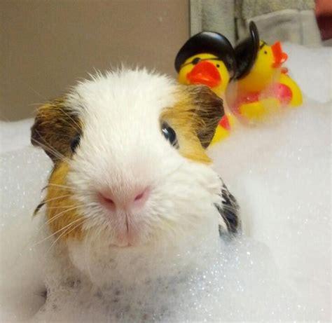 stuff  guinea pig
