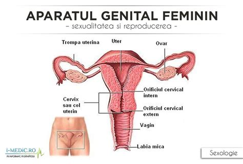 Aparatul genital feminin este un sistem complex de organe