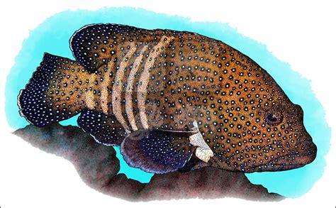 grouper peacock illustration line cephalopholis argus enlarge