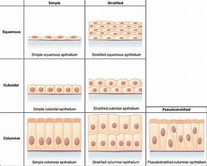 Epithelial Tissue  Epithelium