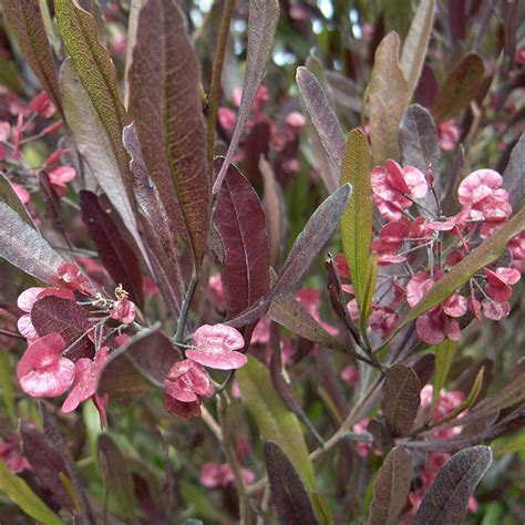 Spinach Garden by Australian Seed Dodonaea Viscosa Purpurea