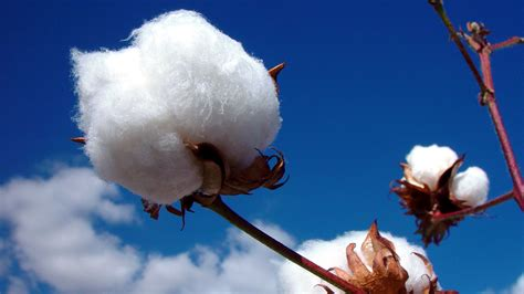 Uses & Types of Cotton