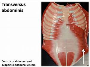 Transversus Abdominis  Anterior Abdomen