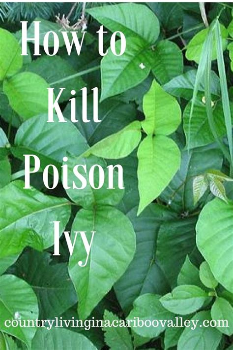 get rid of poison homemade solution for getting rid of poison ivy homesteading survival pinterest