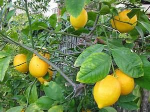 Lemon Tree Fertilizer