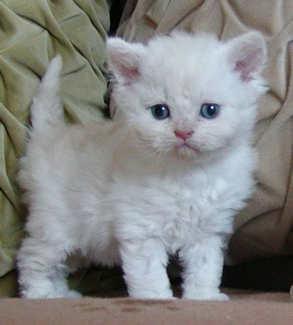cats that don t shed renekton build guide rapeodile league of legends