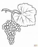 Grapes Coloring Pages Fiano Printable Crafts Drawing sketch template