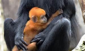 rare monkey  birth  ginger baby  london zoo