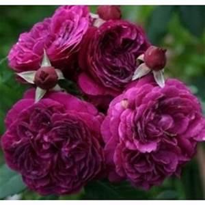Rosier Tige Pas Cher : rosiers sur tige tronc 1 m tre de hauteur 3 p pini res raffard ~ Dallasstarsshop.com Idées de Décoration