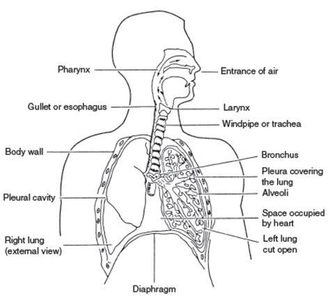 respiratory system diagram blank human anatomy system