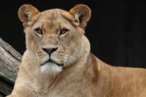 Free Images  Wildlife, Portrait, Africa, Predator, Fauna