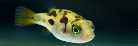dwarf puffer fish     planted aquarium fish
