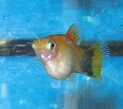 pregnancy  fish wikipedia