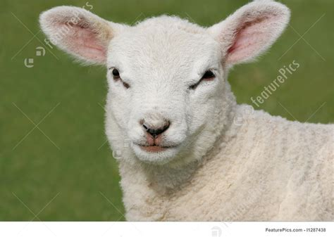 domestic animals face   lamb stock picture