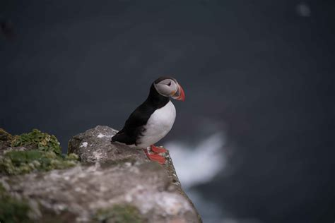 all about puffins