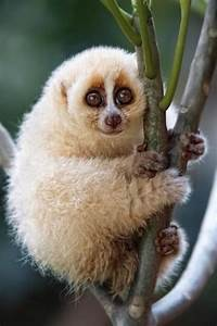 17 Best images about Slow Loris Love on Pinterest