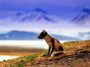 Fox and Mountains Photo, Norway Wallpaper - National ...