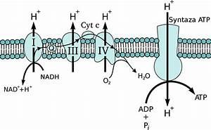 Gradiente Protonico Elettrochimico Transmembrana