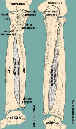 Ulna Diagram Neck by Bones Of The Arm And Forearm