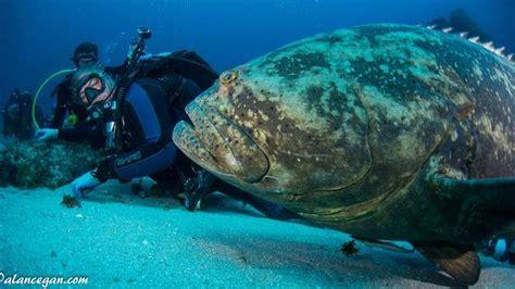 grouper goliath florida fish giant egan lionfish via alan herald miami behavior graceunderthesea epinephelus itajara hunting fwc divers encounter courtesy