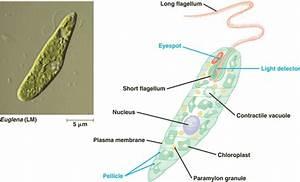 Euglena Parts Gallery