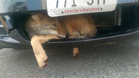 Coyote Expected To Recover After Getting Stuck In Car