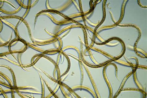 DNA barcoding of Nematodes to predict soil health - CHAP