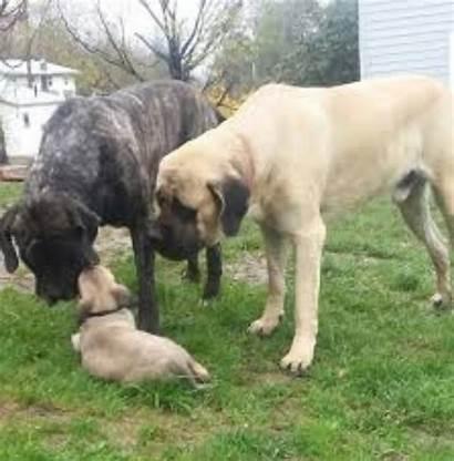 Mastiff English American Children Them Breed Comparison