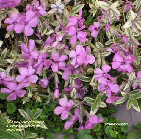 images  flowering outdoor plants  pinterest
