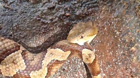 decapitated copperhead snake head bites  body snappy