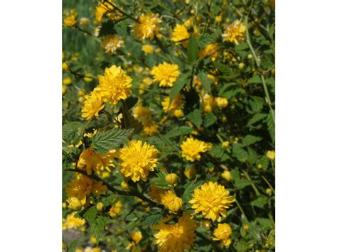 gelb blühender strauch kerria strauch gelb bl 252 hend 1 pflanze lidl deutschland