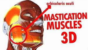 Muscles Of Mastication - Jaw And Mandible